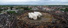 Ihringen, Germany: Two young storks nest on the roof of the Protestant church