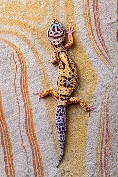 Leopard gecko. There's no moral difference between the animals we kill for food and use as commodities,  and those we love as members of our families.  All animals, birds,  fish and insects are sentient and have a right to live. Go vegan and stay vegan for them.  It's the least we can do. Start here: www.vegankit.com