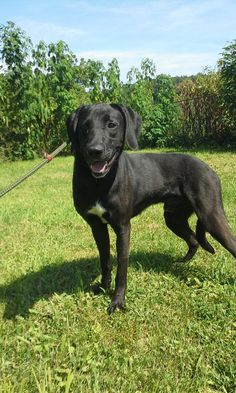 Doc is an adoptable Great Dane searching for a forever family near Hillsboro, OH. Use Petfinder to find adoptable pets in your area.