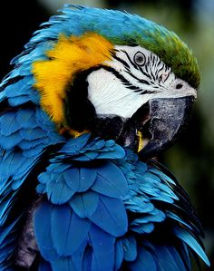 Arara  - canindé All Birds, Cute Birds, Pretty Birds, Beautiful Birds, Tropical Birds, Exotic Birds, Colorful Birds, Parrot Pet, Parrot Bird