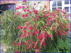 This wonderful plant, the Bottle Brush, is not as popular in the US as it should be. I just love it!