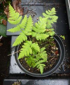 Gymnocarpium dryopteris - ekbräken - www. Plants, Plant, Planting, Planets