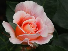 Flower, Rose, Blossom, Bloom, Pink, Insect