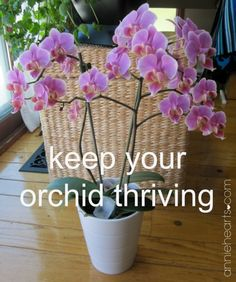 Two simple steps to help your orchid thrive. anniehearts.com
