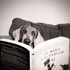 reading weimaraner