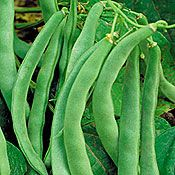Bountiful Stringless Snap Bean.