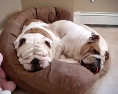 Snoring in Stereo ??? These dogs will keep the neighborhood awake