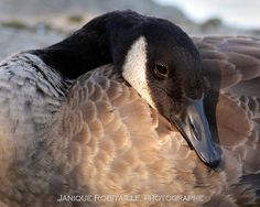 Canada Goose expedition parka online discounts - 1000+ images about Duck duck Canada goose on Pinterest | Canada ...