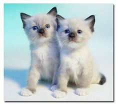 Ragdoll Kittens! - Click for More...