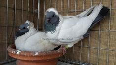 EE ringed (2013) English Blue Nan pigeon for sale - BD Online Pigeon Market