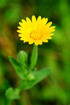 Calendula Arvensis - GranoSalis - Blog di cucina naturale e consapevole