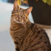 Chat tigré sans famille / Tabby cat without a family. #cat #chat #montreal