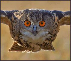 owl closeup in flight, very cool