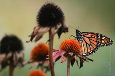 Monarch with Echinacea purpurea Dandelion, Creatures, Seasons, Photo And Video, Flowers, Plants, Dandelions, Seasons Of The Year, Plant