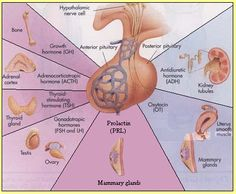 pituitary gland hormones - Google Search