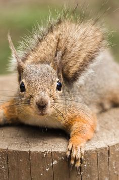 Squirrel chillin on a tree stump