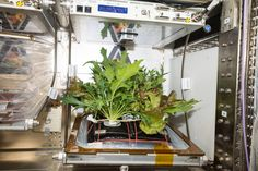 Astronauts from International Space Station show us how to grow a garden in space. Friday morning, astronauts onboard International Space Station have succeded to show us how plants grow in space, by harvesting three varieties of leafy greens and installing… Continue Reading →