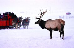 Sleigh Ride at National Elk Refuge in Jackson Hole, Wyoming
