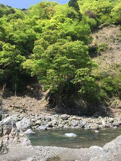 新緑の頃 今は杉林が多くなってしまったが、元々安曇川流域はブナなどの落葉樹帯である。  落葉樹と言えば美しい紅葉を思い浮べる人が多いが、僕は新緑の頃が好きだ。  木々だけでなく、生き物すべてが輝いているような新緑の頃、安曇川のフライフィッシングは短い最盛期を迎える。