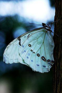 White Morpho Butterfly (Morpho Polyphemus), via Flickr.