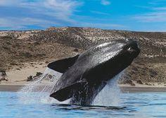 Walvis spotten in Argentinie