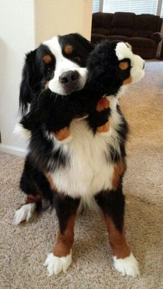 Dogs Pictures Edit - Fluffy Dogs Videos - - Dogs Pictures In Snow - White Dogs Aesthetic - Dogs Products Cute Dogs And Puppies, I Love Dogs, Doggies, Bermese Mountain Dog, Bernese Dog, Beautiful Dogs, Cute Baby Animals, Dog Pictures, Dog Breeds