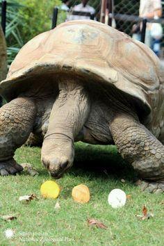 Aldebra tortise Reptiles, Zoo Animals, Cute Animals, Water Turtles, Turtle Love, Tortoises, Teenage Mutant Ninja Turtles, Exotic Pets, Snakes