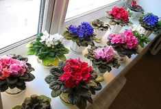 este un sfat de aur! Good Morning To All, Little Flowers, Love Flowers, Beautiful Flowers, Apartment Plants, Saintpaulia, Flower Cart, Foliage Plants, Garden Care