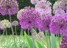 Mass planting of Alliums for impact Growing Flowers, Dried Flowers, Planting Flowers, Perennial Flowering Plants, Perennials, Architectural Plants, Minimalist Garden, Flower Farmer, Pyrus