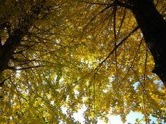 #my photo #stroll #Nature is beautiful #ginkgo