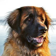 Leonberger #dogs #pets #ShermanFinancialGroup