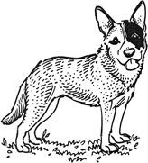 Blue Heeler Coloring Pages Coloring Pages