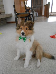My 13 week old puppy Skylar Princess-of-Quite-A-Lot wearing her St. Patty's Day Bow. We just love her!