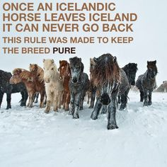 Icelandic horses. Interesting. Good thing this doesn't apply to people.