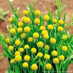 Vegetable seeds and flower seeds, including single colour, single variety seeds, heirloom seeds and rare or unusual seeds, plants and bulbs. Moonflower Vine, Yellow Perennials, Full Sun Flowers, Cut Flowers, Pineapple Flowers, Garden Organization, Herbaceous Border, Balcony Plants, Border Plants