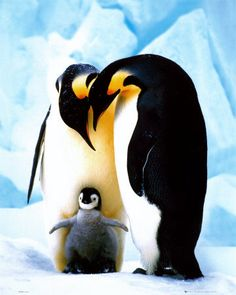 """Emperor penguins - pretty sure penguin chicks are not real, but stuffed toys put on the ice to make us go """"Awwwwwww"""""""