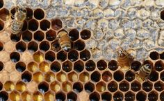 Social wasps and bees in the Upper Midwest : Insects : University ...