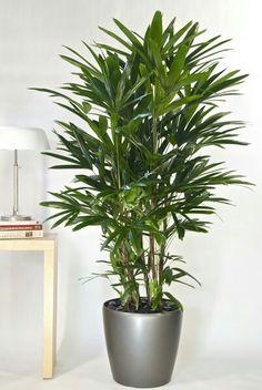 Lady Palm aka Rhapis Palm