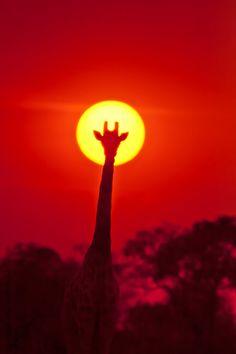 Sunset and Giraffe, Hwange National Park in Zimbabwe