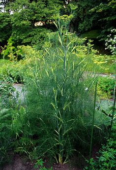 Fennel medicinal herb: There is also a long history, dating back to the Chinese and Hindus who used it as a cure for snake bites.