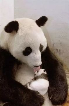 pandas the most adorable animals ever Cute Baby Animals, Animals And Pets, Funny Animals, Baby Pandas, Wild Animals, Giant Pandas, Cute Panda Baby, Red Pandas, Beautiful Creatures