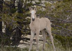 """Cloud's Pride""-newly born buckskin colt, the son of Cloud and Feldspar!"