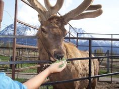 Reindeer Farm (5561 S. Bodenburg Loop Rd, Palmer) Farm has 150 Reindeer, 35 Elk, 13 Horses, 1 Bull Moose, and 1 Bison, up close and personal experience with each, open daily 10am-6pm, cost $7