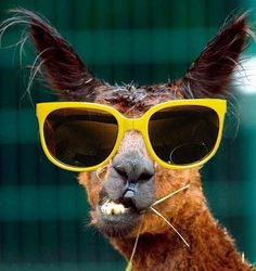 Llama in sunnies   Tags: funny, animals, glasses, specs, sunglasses, spectacles