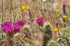What: Strawberry Hedgehog Cactus Bloom, Coulter's Lupine, Owl's Clover and Mexican Gold Poppies Where: White Tank Mountain Regional Park Photo by: Melissa McCollum