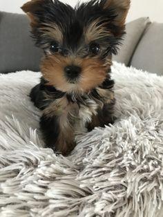 Yorkshire Terrier mini toy! #Milan #mylove Yorkshire Terrier, Milan, Toy, Animals, Yorkshire Terriers, Animales, Yorkie, Animaux, Teacup Yorkie