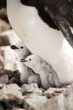 Cute baby penguins in Antarctica.