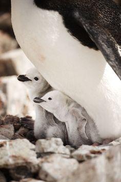 Cute baby penguins in Antarctica.