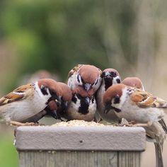 上の子はどうやって食べるんだろう #雀#スズメ#すずめ#sparrow by onakan_s