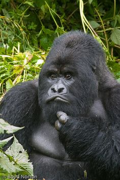 I wonder if I should attempt to get me a little light-light booty. Primates, Mammals, Chimpanzee, Orangutans, Gorillas In The Mist, Animals And Pets, Cute Animals, Monkey See Monkey Do, Animals